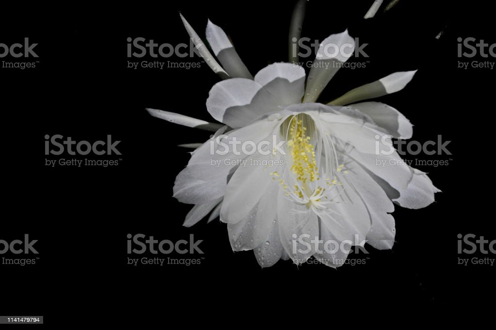 Beautiful white lady-of-the-night flower of an intoxicating scent and...