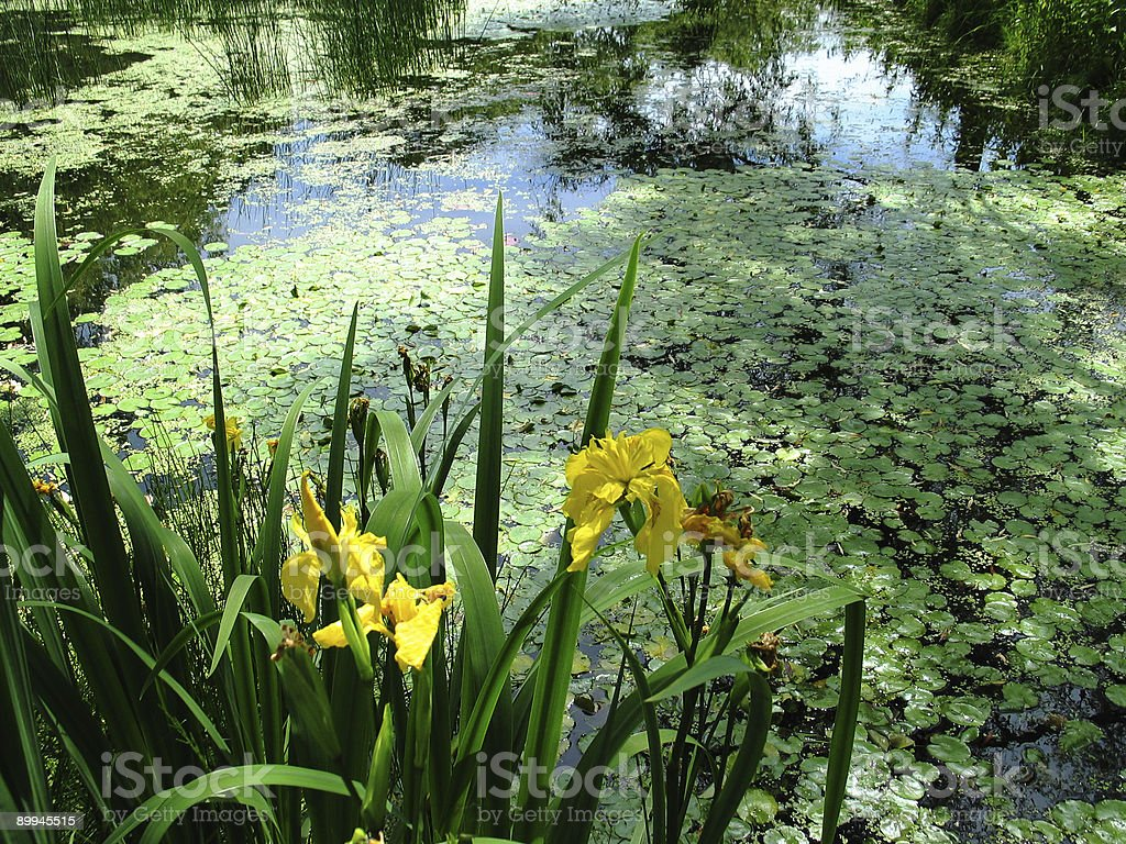 Beautiful lake with Iris flowers and water plants royalty-free stock photo