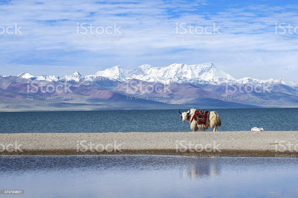 ANIMAL: Beautiful lake with yak against snow mountains Namco Tibet stock photo