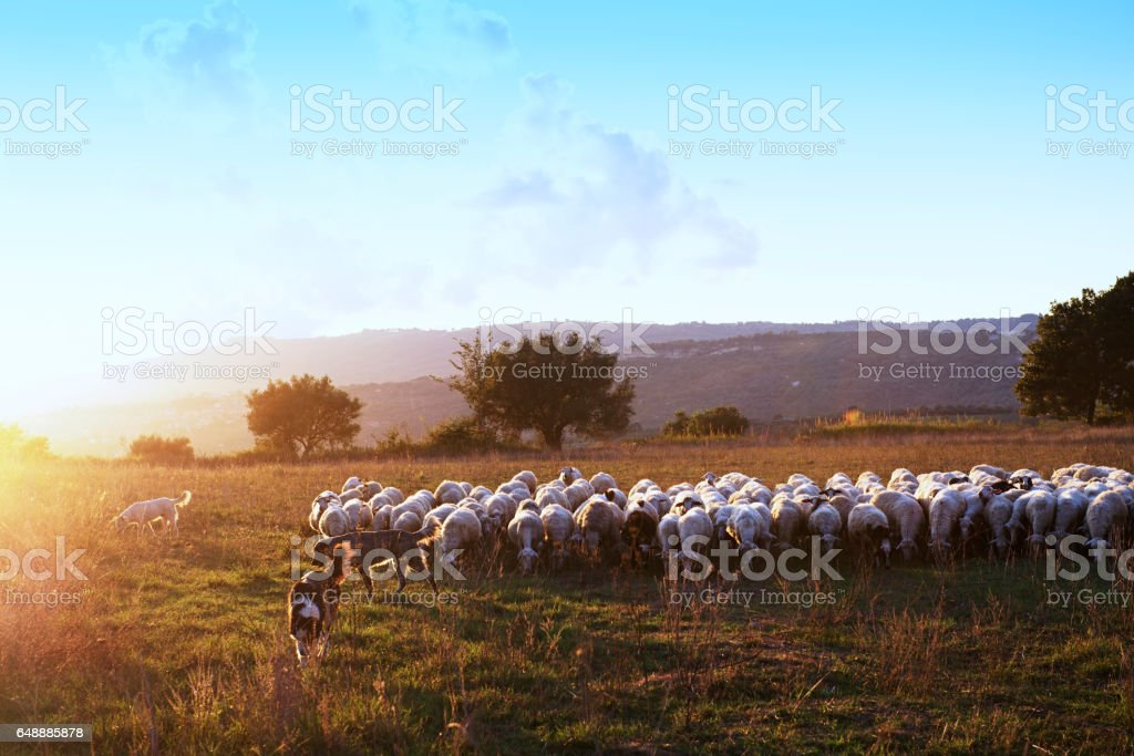 Beautiful landscape during sunset  with a flock of grazing sheep and three  sheepdogs in the countryside, Calabria,Italy stock photo