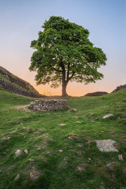 Beautiful landscape image of Sycamore Gap at Hadrian's Wall in Northumberland at sunset with fantastic late Spring light Stunning landscape image of Sycamore Gap at Hadrian's Wall in Northumberland at sunset with fantastic late Spring light sycamore tree stock pictures, royalty-free photos & images