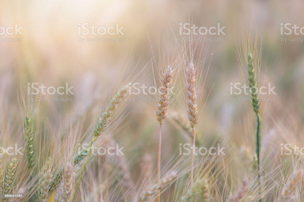 Wunderschöne Landschaft des Gerstenfeld im Sommer bei Sonnenuntergang, Ernte Zeit gelbe Reisfeld in Thailand - Lizenzfrei Agrarbetrieb Stock-Foto