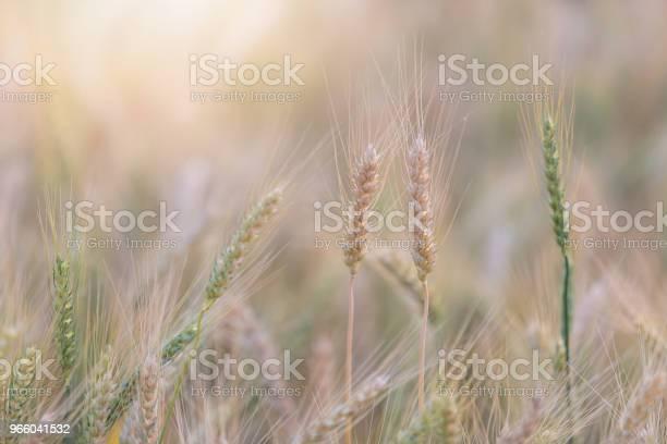 Wunderschöne Landschaft Des Gerstenfeld Im Sommer Bei Sonnenuntergang Ernte Zeit Gelbe Reisfeld In Thailand Stockfoto und mehr Bilder von Agrarbetrieb
