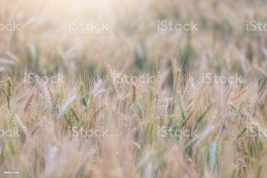 Beautiful landscape of Barley field in summer at sunset time, Harvest time yellow rice field in Thailand - Стоковые фото Выращиваемый роялти-фри