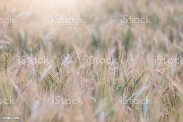 Красивый Пейзаж Ячменного Поля Летом Во Время Заката Время Сбора Урожая Желтого Рисового Поля В Таиланде — стоковые фотографии и другие картинки Выращиваемый