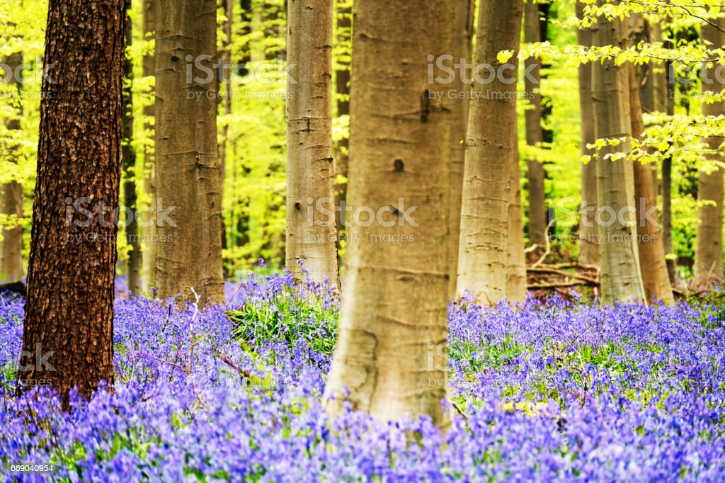 Beautiful landscape of blooming bluebells in the Hallerbos, a forest in Halle, Belgium stock photo