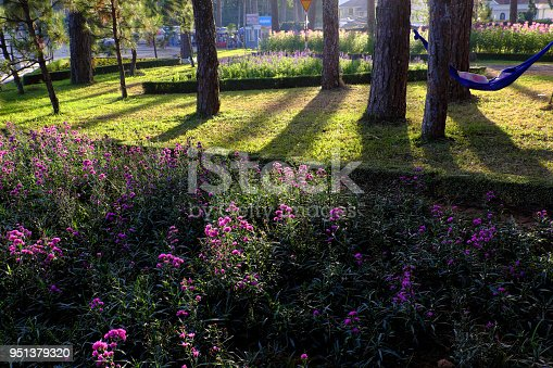 Scene of nature at Da Lat city in morning, violet daisy flower bloom, shade of pine tree on grass in park, golden light make beautiful landscape of flower city, place for ecotourism at Vietnam