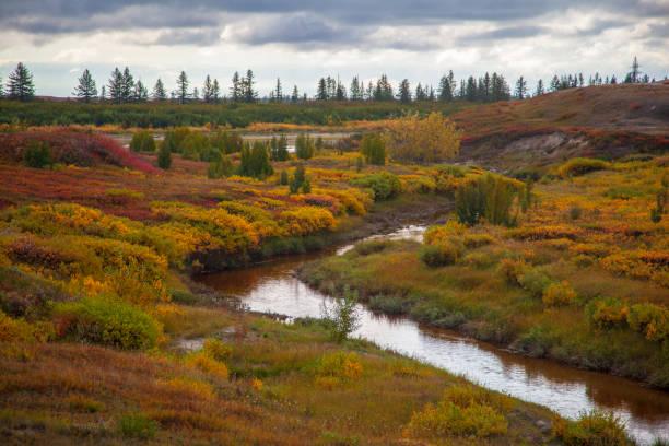 ツンドラの森ツンドラの美しい風景、 ツンドラの秋。苔の背景に秋の色で黄色のスプルースの枝。ツンドラ、ロシア。 - ツンドラ ストックフォトと画像