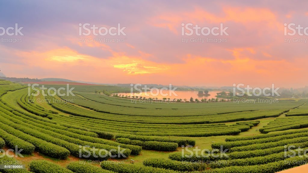 Beautiful landscape of green tea farmland in the morning with dramatic sky stock photo