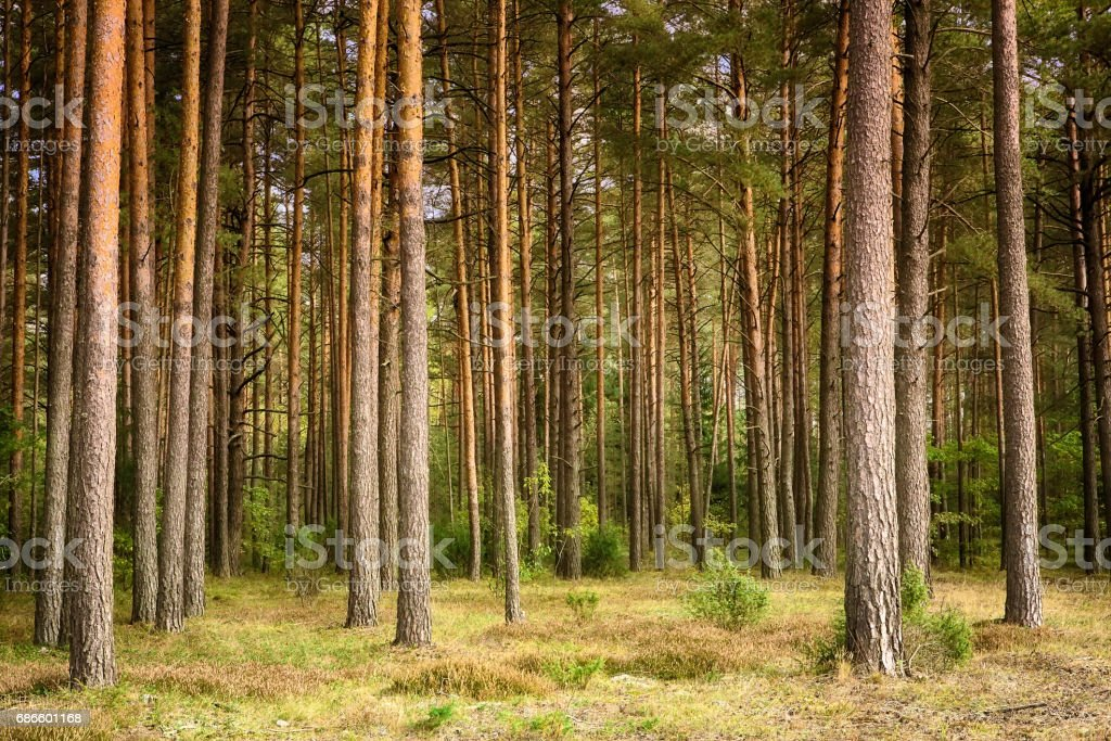 Beautiful landscape of pine forest stock photo