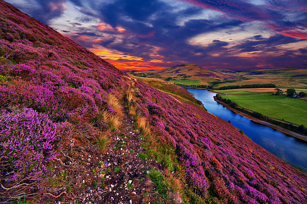 Beautiful landscape of scottish nature Vivid colorful landscape scenery with a footpath through the hill slope covered by violet heather flowers and green valley, river, mountains and cloudy blue sky on background. Pentland hills, near Edinburgh, Scotland heather stock pictures, royalty-free photos & images