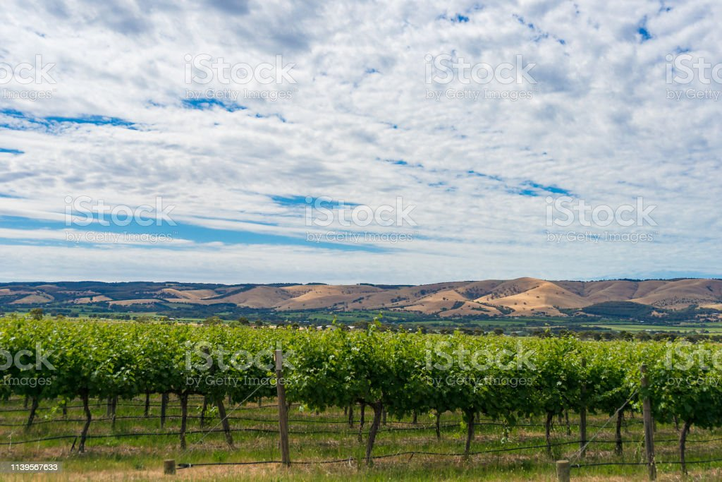 Beautiful landscape of vineyard and picturesque sky stock photo