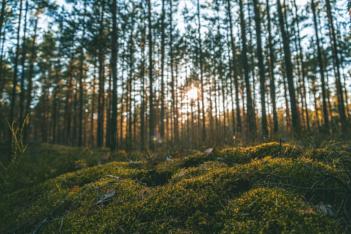 Beautiful landscape, sunset in the dense pine forest, the beauty of northern nature