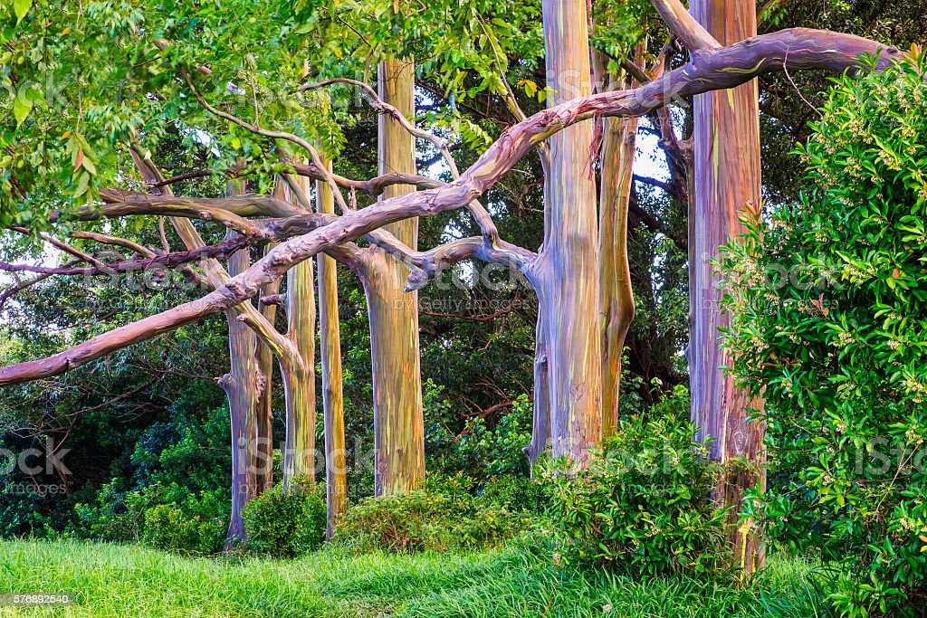 Beautiful landscape view of colorful painted eucalyptus trees stock photo