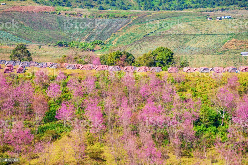 beautiful landscape view of sakura (cherry blossom) in valley outdoor around camping area  with tent in mountain stock photo