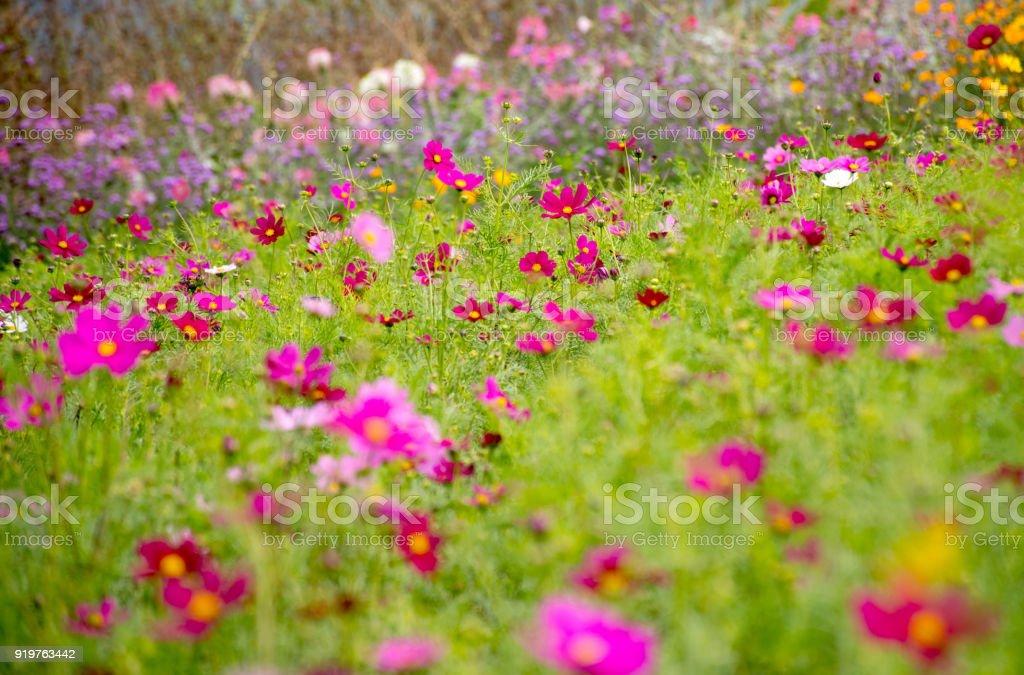 Vue De Paysage Magnifique La Couleur Du Cosmos Fleur Fond De Champ