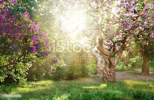 istock beautiful landscape with old lilac tree blossoming in the garden. Lilac trees under bright sun rays 1068903950