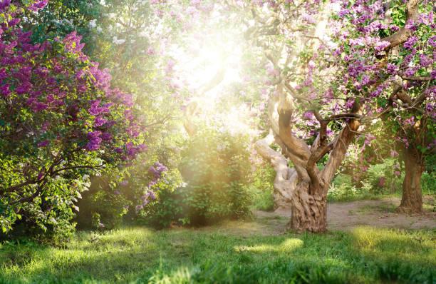 eski leylak ağacı bahçede çiçek açması ile güzel bir manzara. parlak güneş ışınları altında leylak ağaçları - peri hayali karakter stok fotoğraflar ve resimler