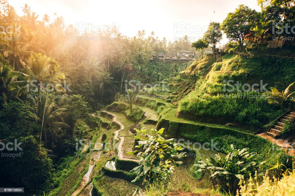 Beautiful landscape with rice terraces in famous tourist area of Tagalalang, Bali, Indonesia. Green Rice fields prepare the harvest stock photo