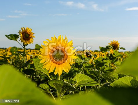 Beautiful landscape with sunflower field over cloudy blue.
