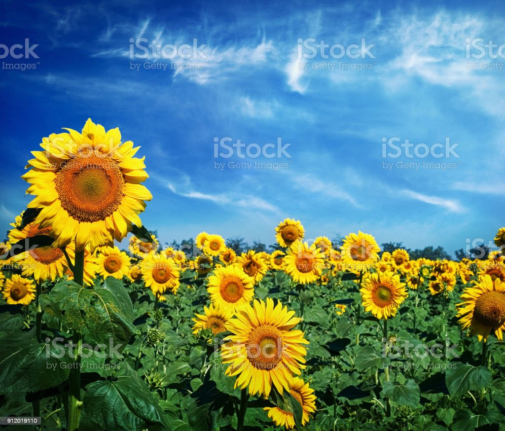 Beautiful landscape with sunflower field over cloudy blue sky stock photo