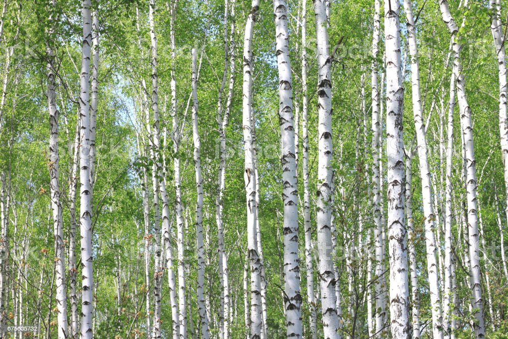 Beautiful landscape with young juicy birches with green leaves and with black and white birch trunks in sunlight in the morning in spring foto de stock royalty-free