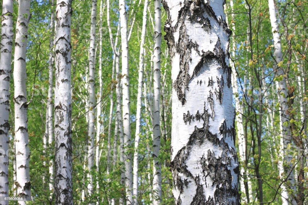Beau paysage de jeunes bouleaux juteuses avec des feuilles vertes et aux troncs de bouleau noir et blanc au soleil du matin au printemps photo libre de droits
