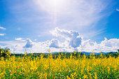 Beautiful landscape yellow flower field with blue sky and sunlight. Crotalaria juncea, Sunn hemp, Indian hemp, Madras hemp or brown hemp. Planted for soil improvement.