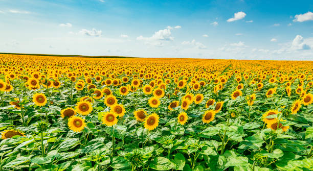 beautiful landscapes of sunflowers in summer - sunflower стоковые фото и изображения