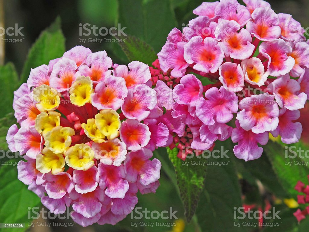 Beautiful lantana stock photo