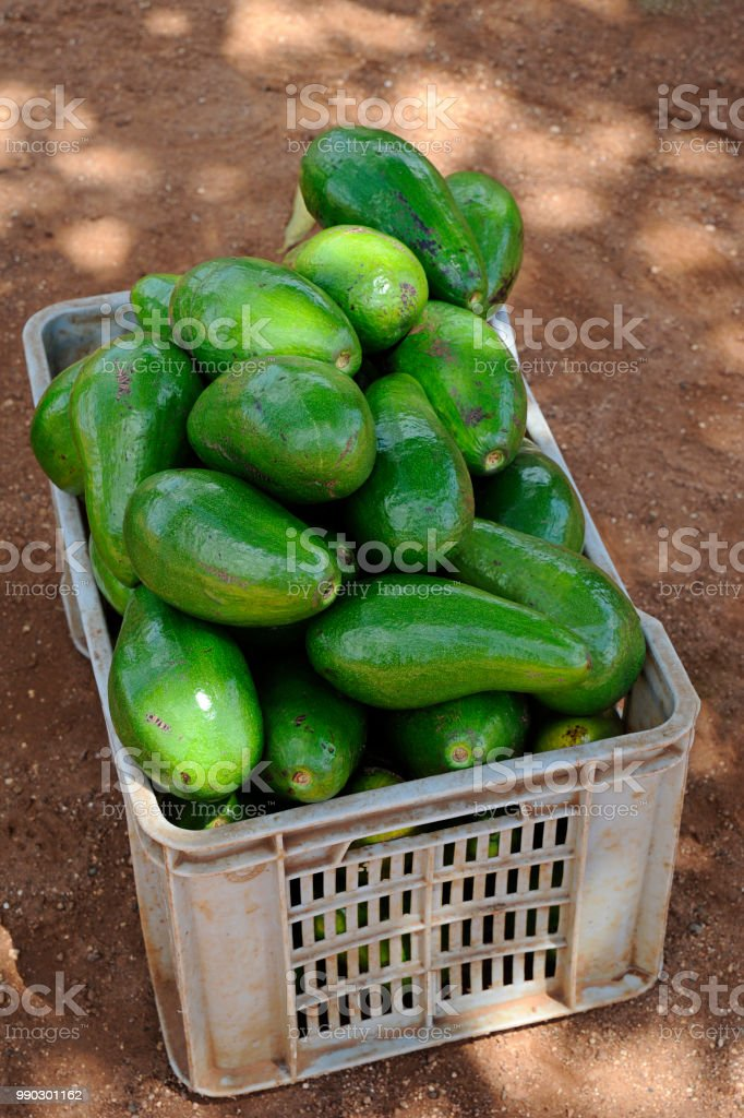 Beautiful, large avocados or Persea americana, from Hall or Choquette variety, in a plastic storage bin stock photo