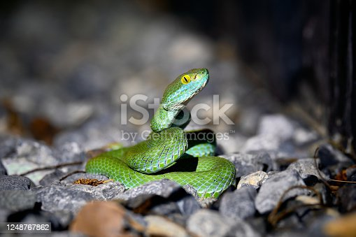 Beautiful large eyed viper ready to hunt at night asian reptile