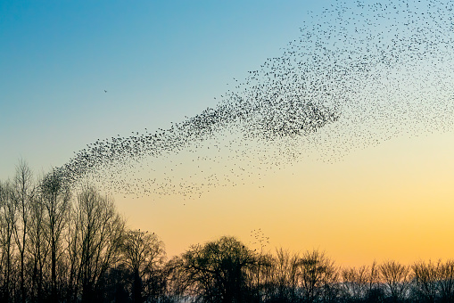 Beautiful large flock of starlings. A flock of starlings birds fly in the Netherlands. During January and February, hundreds of thousands of starlings gathered in huge clouds. Starling murmurations.