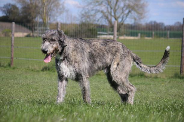 beautiful large irish wolfhound is walking in the garden walking irish wolfhound outdoor sight hound stock pictures, royalty-free photos & images