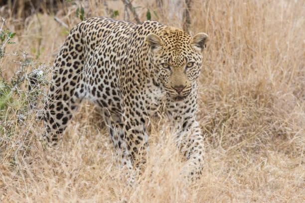 schöne große männliche leoparden wandern in natur jagd nach nahrung - flecktarn stock-fotos und bilder