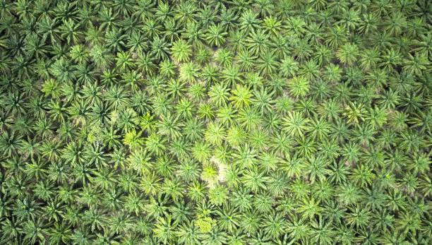 luftaufnahmen von oben nach unten: schöne große palmenplantage wachsen riesige in thailand. - seltene pflanzen stock-fotos und bilder