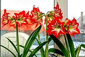 large red Amaryllis flowers bloom on the windowsill