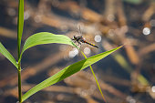 A beautiful large white-faced darter dragonfly (Leucorrhinia pectoralis) resting on a plant in water