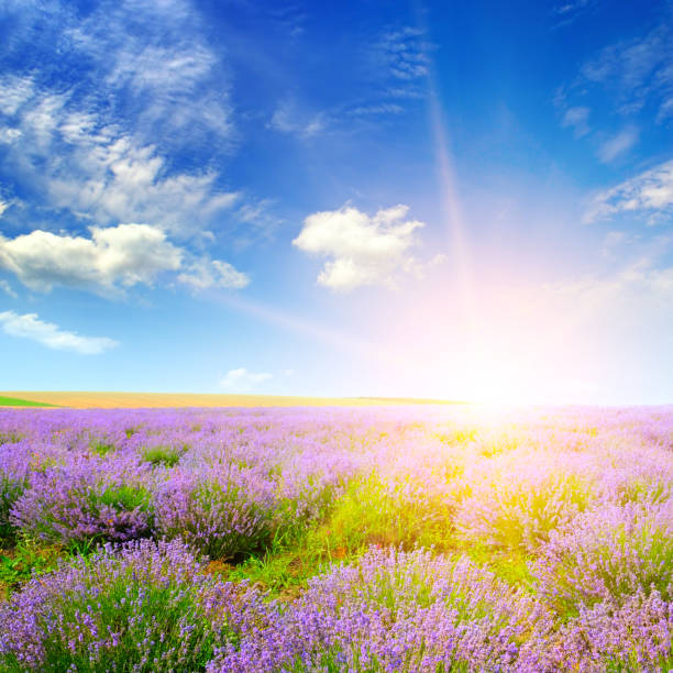 Schönes Lavendelfeld bei Sonnenuntergang. Landwirtschaftliche Landschaft. – Foto