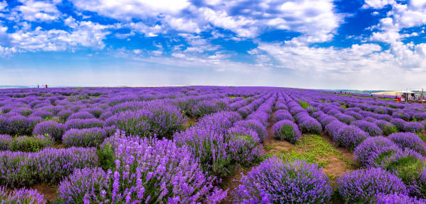 beautiful lavender fields on a sunny day. lavender blooming scented flowers. field against the sky. moldova - moldova stock pictures, royalty-free photos & images