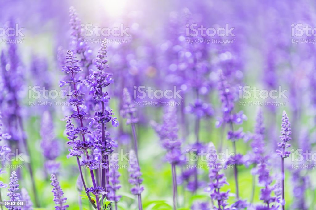 beautiful Lavender flower in garden royalty-free stock photo