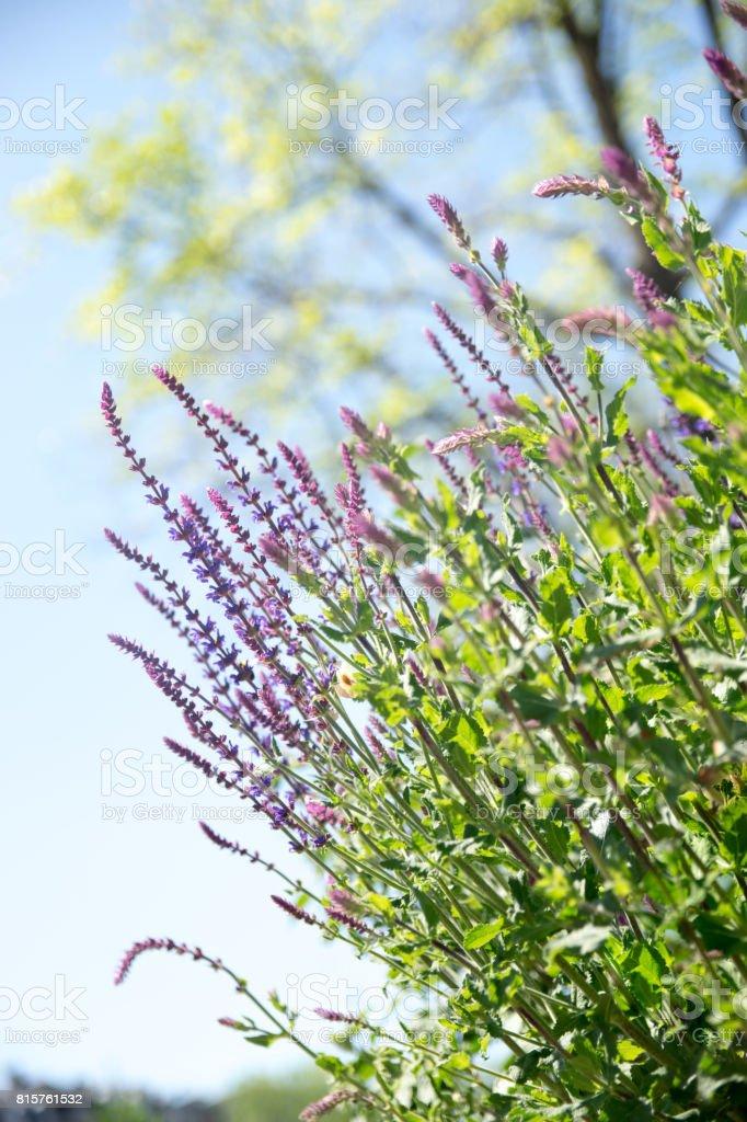 Beautiful lavender flower lit by sunlight stock photo