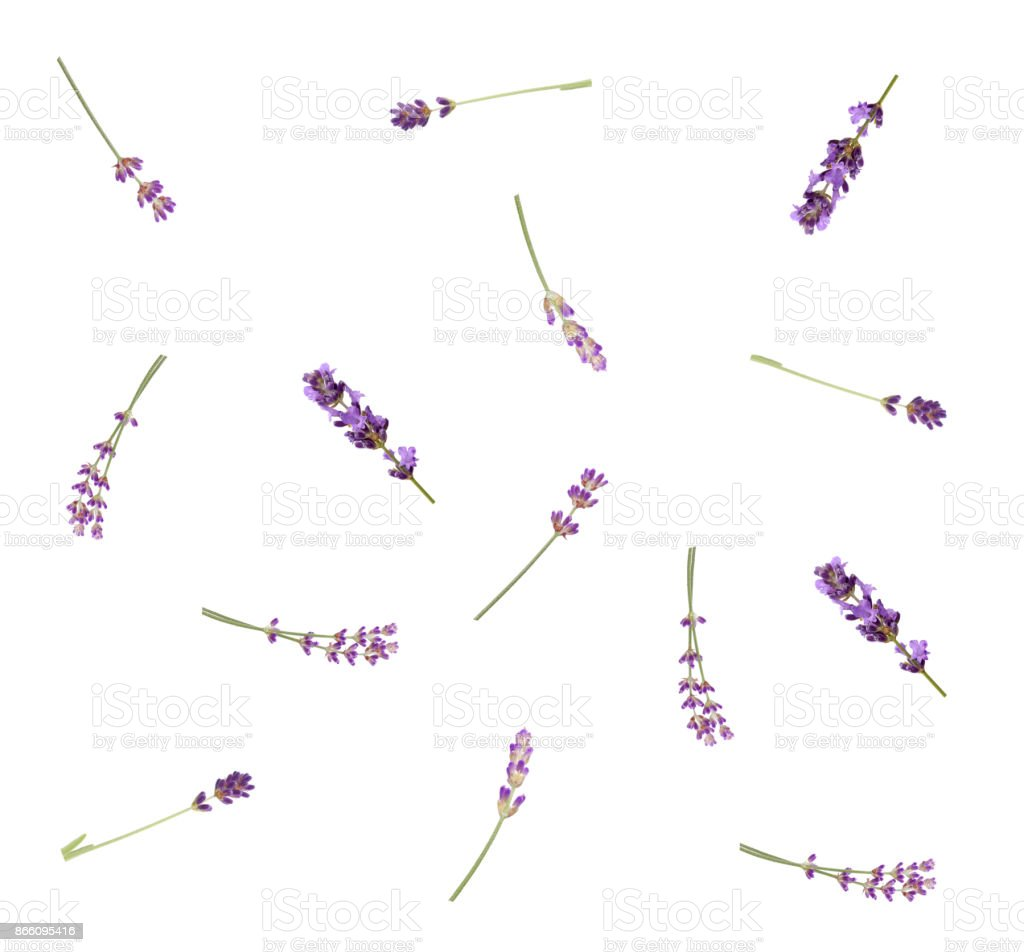 Lavender flowers isolated on white background, top view. Trendy flay...