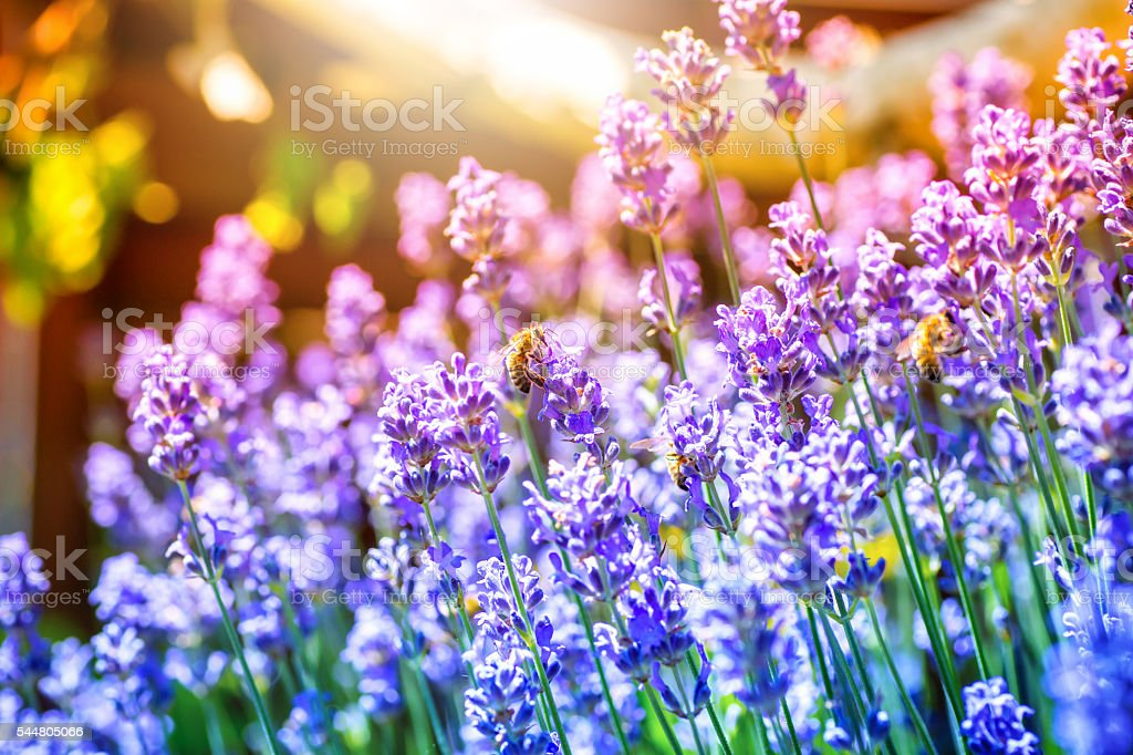 Beautiful lavender flowers from France with bees pollinating stock photo