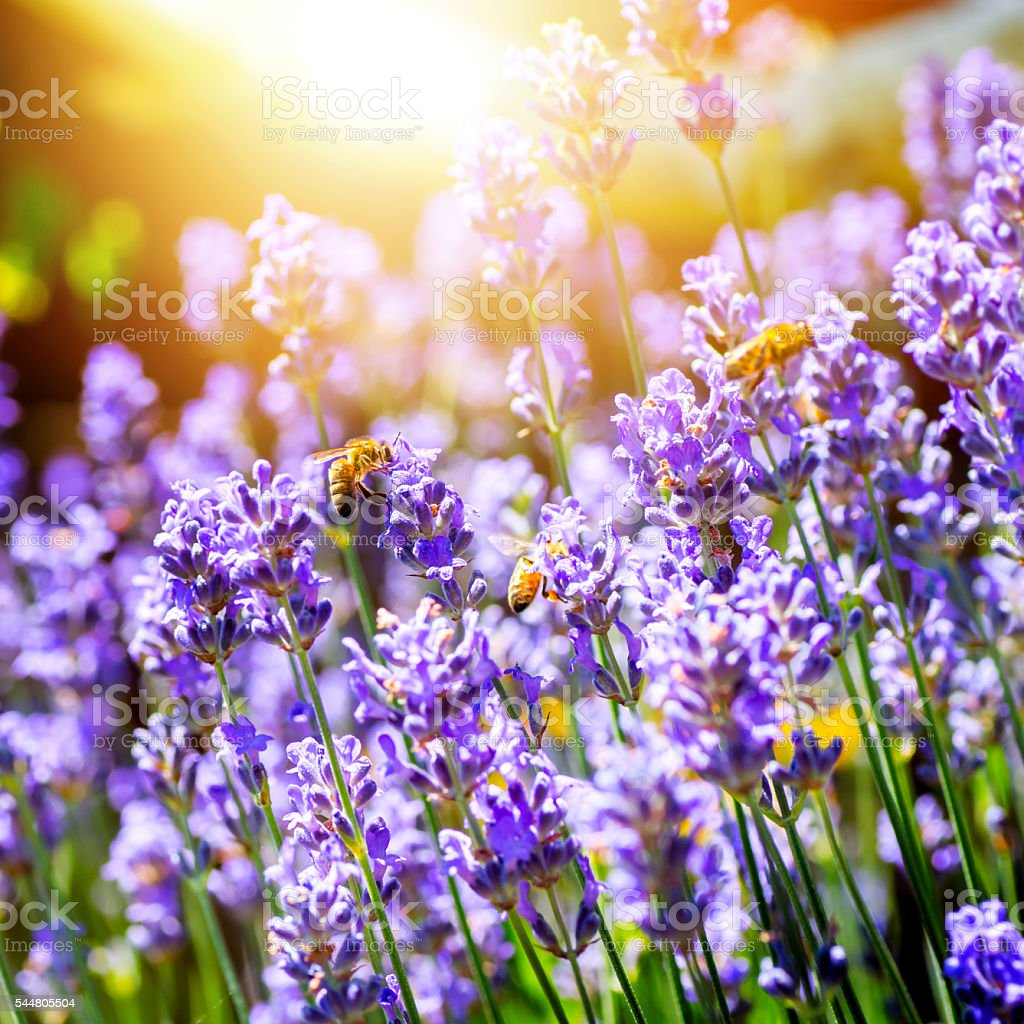 Beautiful lavender flowers from france with bees pollinating stock beautiful lavender flowers from france with bees pollinating royalty free stock photo izmirmasajfo