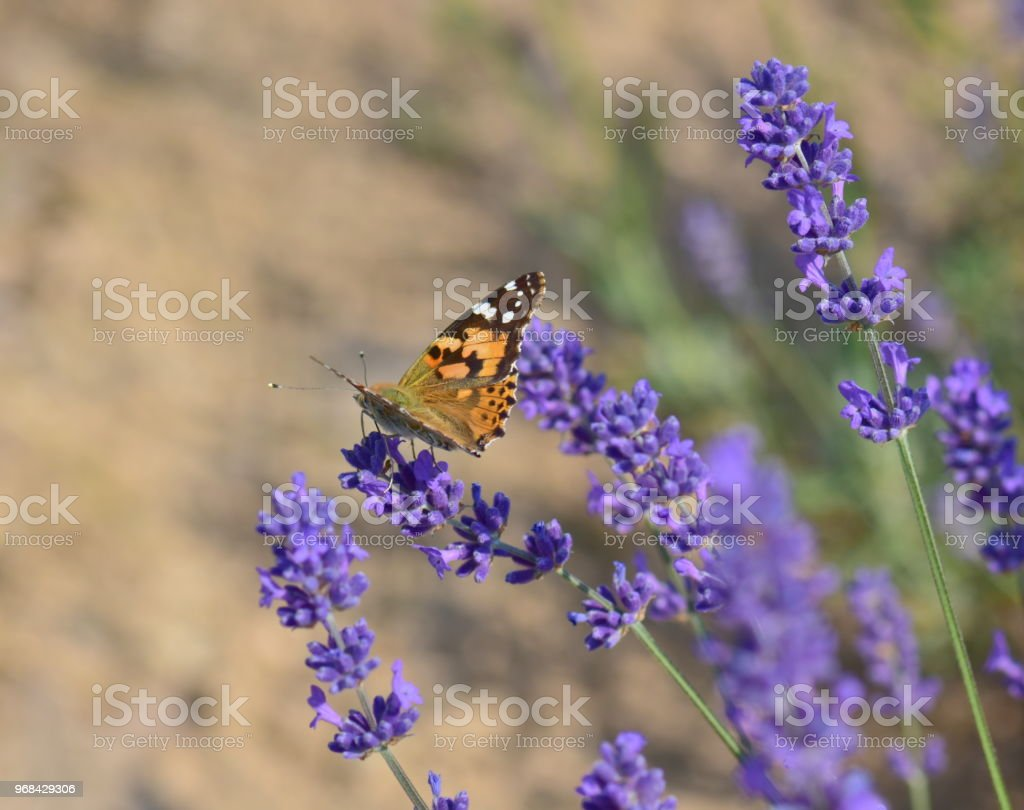 Beautiful lavender flowers with butterfly stock photo more beautiful lavender flowers with butterfly royalty free stock photo izmirmasajfo