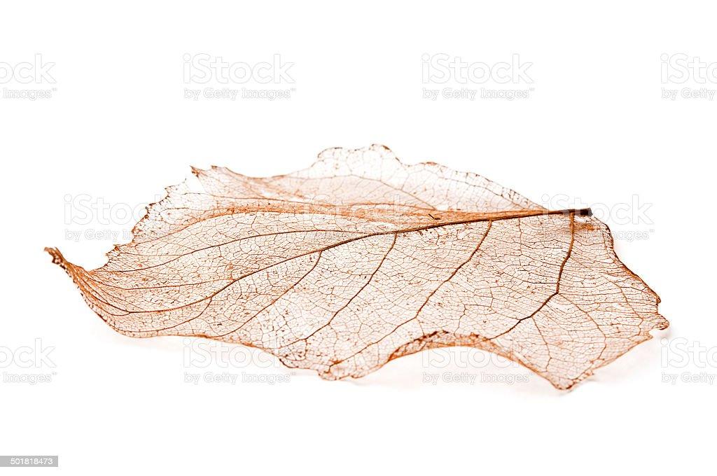 Beautiful Leaf Skeleton stock photo
