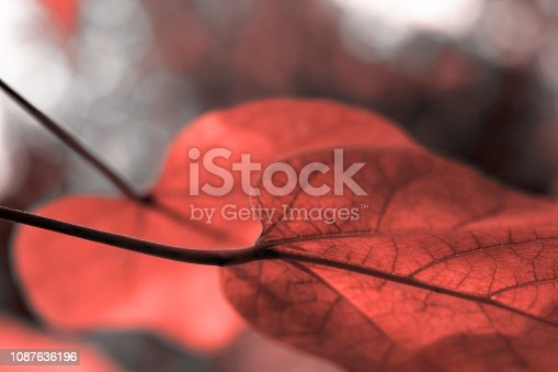 istock Beautiful leaves in colour of living coral 1087636196