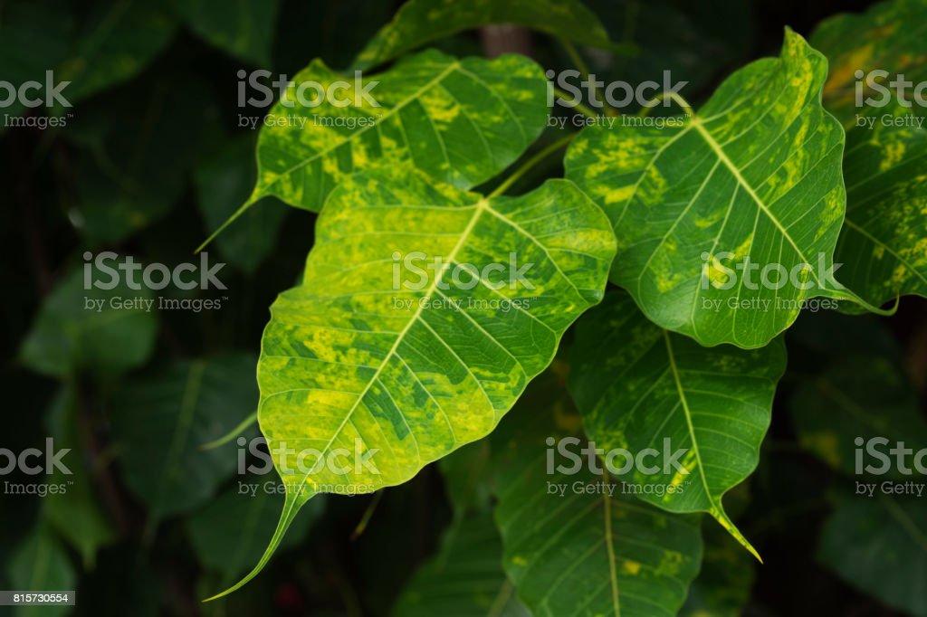Beautiful leaves of bodhi tree stock photo
