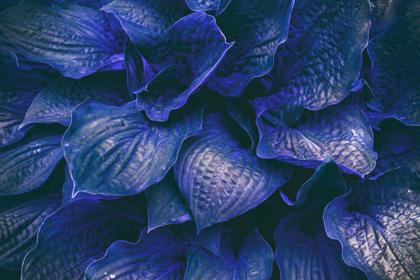Beautiful leaves of Hosta green leaves natural floral background of Hosta. Blue creative and whimsical color pattern. stock photo